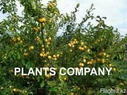 Алыча желтая плодоносящие деревья из питомника