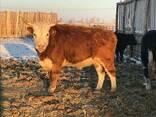 Бұқалар, мал, КРС, быки, мясо - фото 4