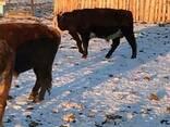Бұқалар, мал, КРС, быки, мясо - фото 6