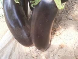 Баклажаны урожай 2019 года. тел- - фото 5
