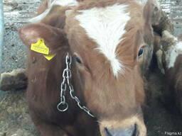 Бычки Коровы но откорм