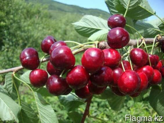 Черешня, саженцы черешни, деревья с комом земли Алматы