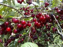 Черешня, саженцы черешни, деревья с комом земли Алматы - фото 2