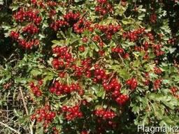 Декоративные растения, саженцы декоративных деревьев Алматы - фото 3
