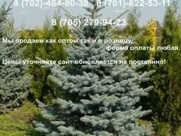 Голубая ель хвойные деревья с питомника