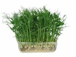 Горох для проращивания, Горох для Микрозеленьи, Фуражный
