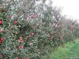Капельное орошение многолетних садов, виноградников