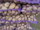 Картофель из Беларуси экспорт - фото 5
