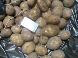 Картофель оптом - фото 2