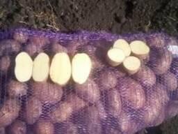 Картофель оптом от крестьянского хозяйства, Бриз 5