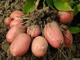 Картофель сорт Родриго товарный оптом (урожай 2018 года)