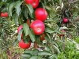 Колоновидные яблони Алматы. Саженцы колоновидные