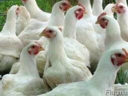 Комбикорм ПК-6 для цыплят бройлеров от 30 дн
