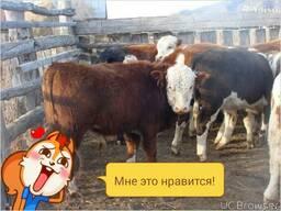 Купим белоголовых бычков