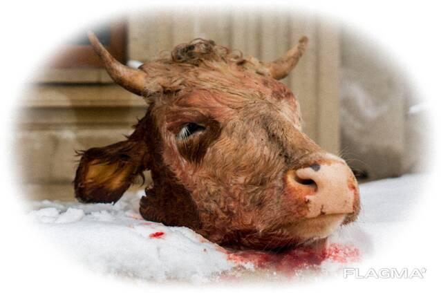 Куплю головы говяжьи