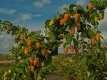 "Малина ""Оранжевое чудо"" - фото 2"