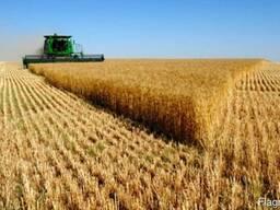 Неклассная пшеница