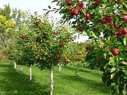 Обработка садовых деревьев и роз от парши и курчавости