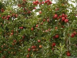 Обрезка плодовых деревьев в Алматы - photo 2