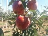 Оптом яблоки! Урожай 2018 года. - фото 2