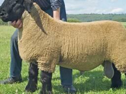 Осеменение. Овцы породы Суффолк.