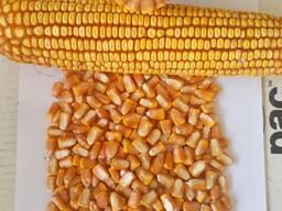 Отборная кукуруза 3 класса элеваторного хранения