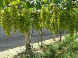 Овощи и фрукты Узбекистан урожай 2017