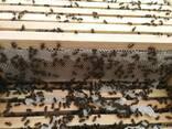 Пчелопакеты, карника - фото 1