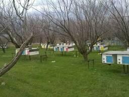 Пчелопакеты, карника - фото 3