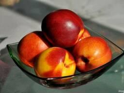 Персики, саженцы персиков, деревья с комом земли Алматы - фото 3