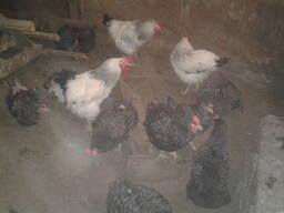 Продам цыплят Доминант.