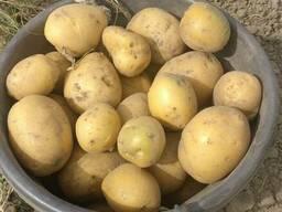 Продам оптом картофель Гала
