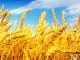 Продам пшеницу 3, 4 класса