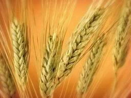 Продам пшеницу 4, 5 класса, ячмень, овес, отруби, комбикорм