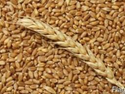 Продам пшеницу мягкую: 3 класс, клейковина 26% г.Житикара