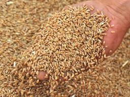 Мельничный Комплекс закупает пшеницу