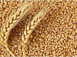 Продам Семена Пшеницы Сорт Омская - 36