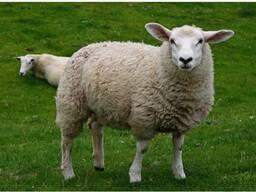 Продам шерсть овечью