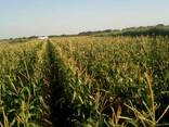 Продам свежую кукурузу в початках - фото 3