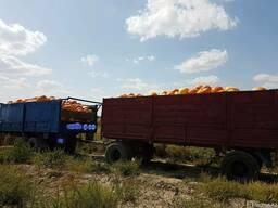 Продам тыкву урожая 2017 год сорта столовый, Мантный, кормов