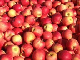 Продам яблоки сорт Гала, Фуджи, Голден Делишес, Ред Делишес