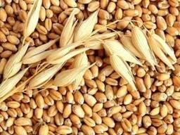 Пшеница 3-4-5 классы