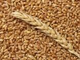 Закуп пшеницы - фото 1