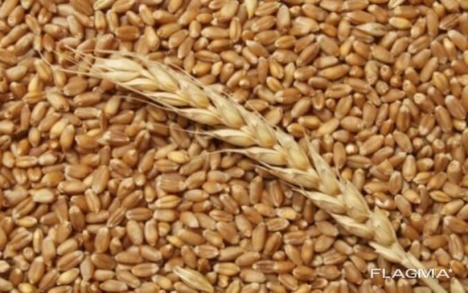 Закуп пшеницы
