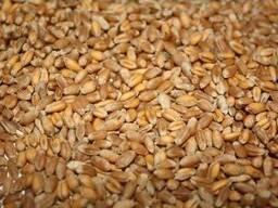Пшеница 3-класса