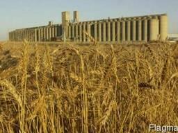 Пшеница 3 класса мягкий сорт c элеватора