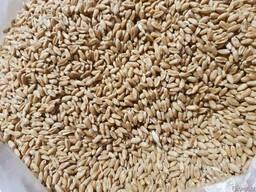 Пшеница 3класс
