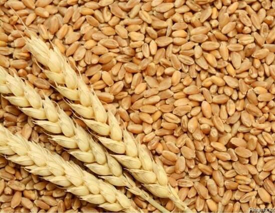 Пшеница 4 класс, 5 класс