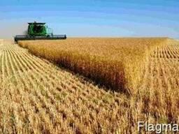 Пшеница 4 класса мягкиий сорт с линейного элеватора