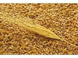 Пшеница экспорт CIF - фото 1